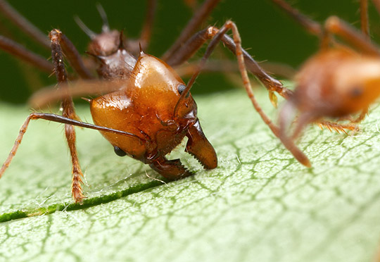 مورچه های برگ بر